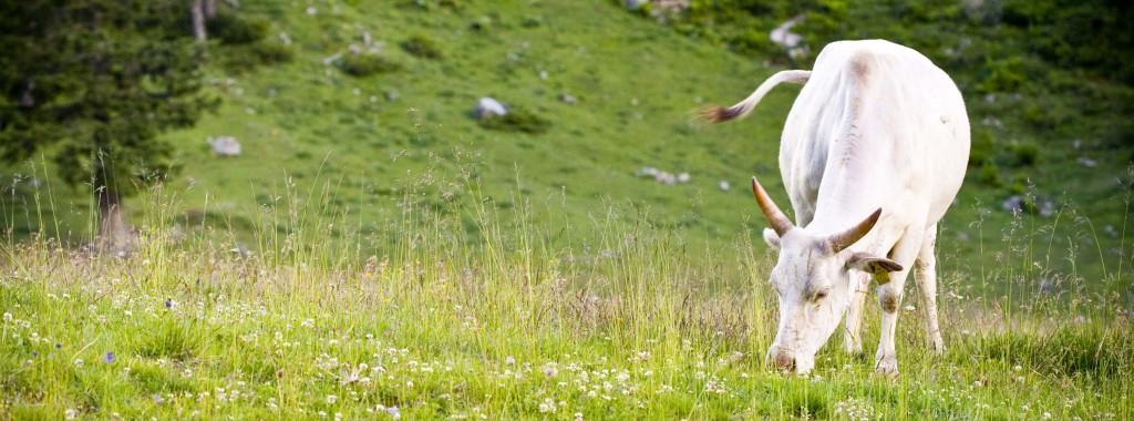 Kuh steht auf der Weide und frisst Gras